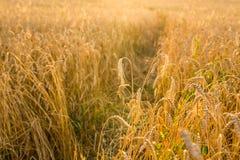Havrefält i solljus Arkivbilder