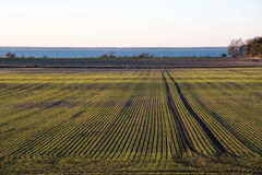 Havrefält med gröna symmetriska rader Arkivfoton