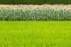 Havrefält och risfält Royaltyfri Foto