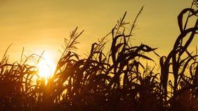 Havrefält på den gula solnedgången Arkivbilder
