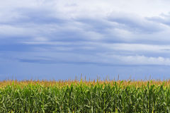 Havrefält med över huvudet stormmoln Arkivfoto