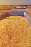 Havrekorn i traktorsläp efter skörd arkivbild
