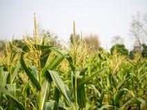 Havremannen blommar, pollentofsar av majsstjälk fotografering för bildbyråer