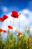 havren blommar papavervallmorhoeas royaltyfri foto
