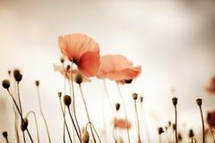 havren blommar papavervallmorhoeas royaltyfria foton