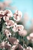 havren blommar papavervallmorhoeas royaltyfri bild