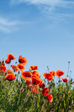 havren blommar papavervallmorhoeas royaltyfria bilder