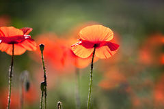 havren blommar papavervallmorhoeas arkivbild