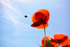 havren blommar papavervallmorhoeas arkivbilder