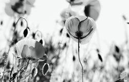 havren blommar papavervallmorhoeas arkivfoto