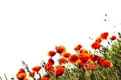 havren blommar vallmon royaltyfri foto