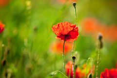 havren blommar vallmon arkivbild