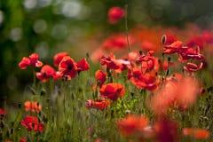 havren blommar vallmored royaltyfria foton