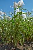 Havren som växer i fältet Arkivbilder