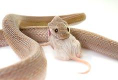 Havreorm som äter musen arkivbilder
