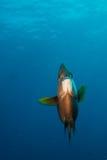 Havsängel Fotografering för Bildbyråer
