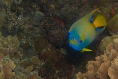 Havsängel Arkivfoto