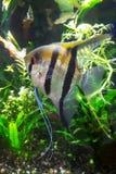 Havsängel i tropiskt akvarium royaltyfri bild