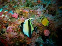 Havsängel på den färgrika korallbakgrunden i det tropiska havet Royaltyfri Bild