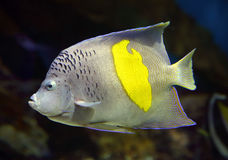 Havsängel - Pomacanthus, maculosus Arkivbilder