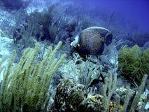 havsängelfransman Arkivbilder