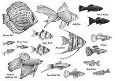 Havsängelillustration, teckning, gravyr, färgpulver, linje konst, vectorCollection av akvariefiskillustrationen, teckning, gravyr Stock Illustrationer