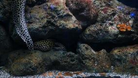 Havsålar i fiskbehållaren, akvariumgarnering Moray Eel i fiskbehållare lager videofilmer