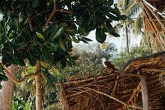 Havsörnen sitter på taket av en bungalow i Asien Ett majestätiskt, istadigt Royaltyfria Bilder