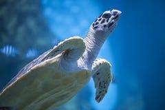 Havs- eller flottasköldpadda Royaltyfri Foto