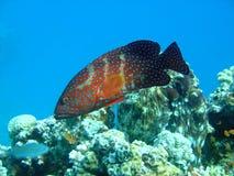 havsaborre Fotografering för Bildbyråer