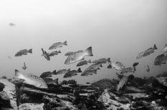 Havsaborre hav av cortez. Arkivfoto