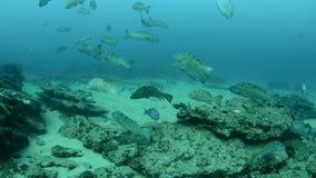Havsaborre hav av cortez. arkivfilmer