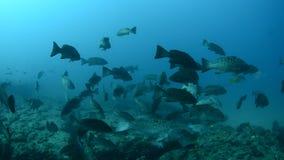 Havsaborre hav av cortez. lager videofilmer