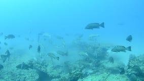 Havsaborre hav av cortez. stock video