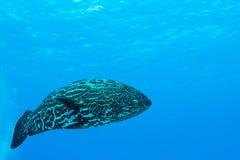 Havsaborre som är karibisk. Royaltyfri Fotografi