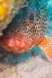 Havsaborre som är karibisk. fotografering för bildbyråer