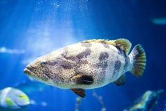 Havsaborrefisk i undervattens- bakgrund royaltyfri foto