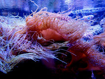 Havsanemon i ett akvarium Arkivfoto