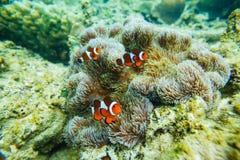 Havsanemon och clownfisk Arkivbild