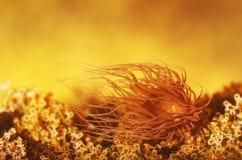 Havsanemoner i havsvattnet Arkivbilder