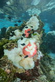 Havsanemoner med fiskdamselfishStilla havet arkivbild