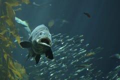 Havsbas Fotografering för Bildbyråer