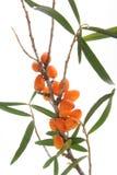 Havsbuckthorn (Hippophae rhamnoides) Royaltyfria Bilder