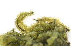 Havsdruvahavsväxt, uni budou japansk seaweed Royaltyfri Fotografi
