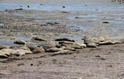 Havselefanter i den wild naturen. Arkivfoto