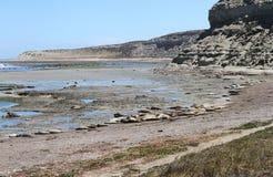 Havselefanter i den wild naturen på Atlanten seglar utmed kusten. Arkivbild