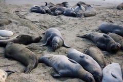 Havselefanter som vilar på stranden Fotografering för Bildbyråer