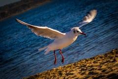 Havsfågel på sjön Arkivbild