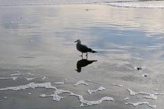 Havsfågel på Stinson royaltyfria foton