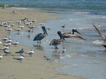 Havsfåglar av Tybee Island Arkivfoto